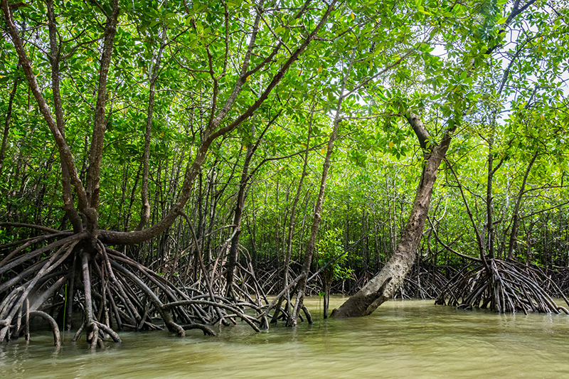 Phang Nga Bay - Mangrovenwälder